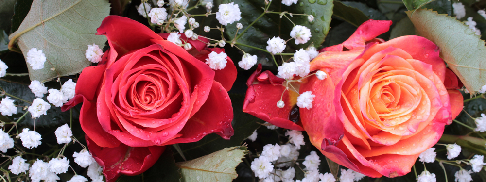 Photo de roses