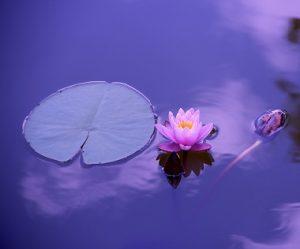 lotus recadré