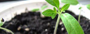 Photo d'une plante en terre fraîchement plantée