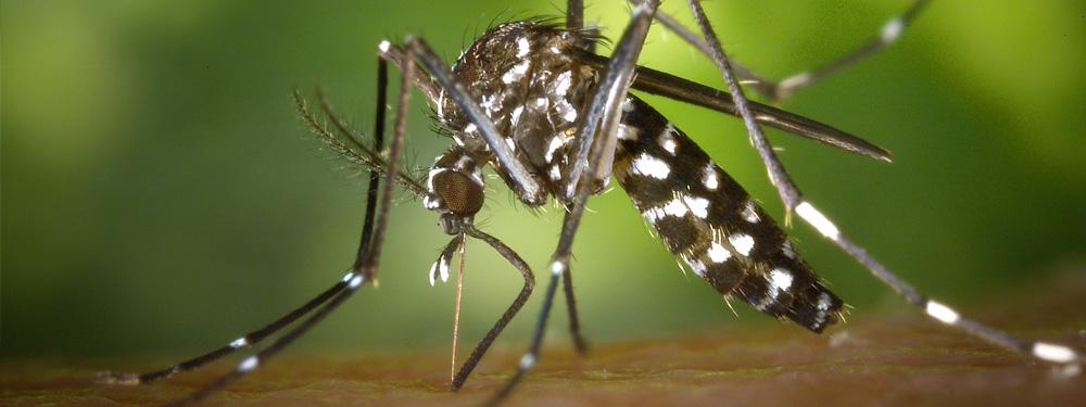 Visuel d'un moustique tigre en train de piquer