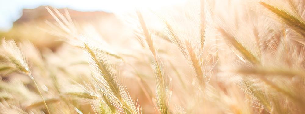 Photo d'un champs de blé au petit matin