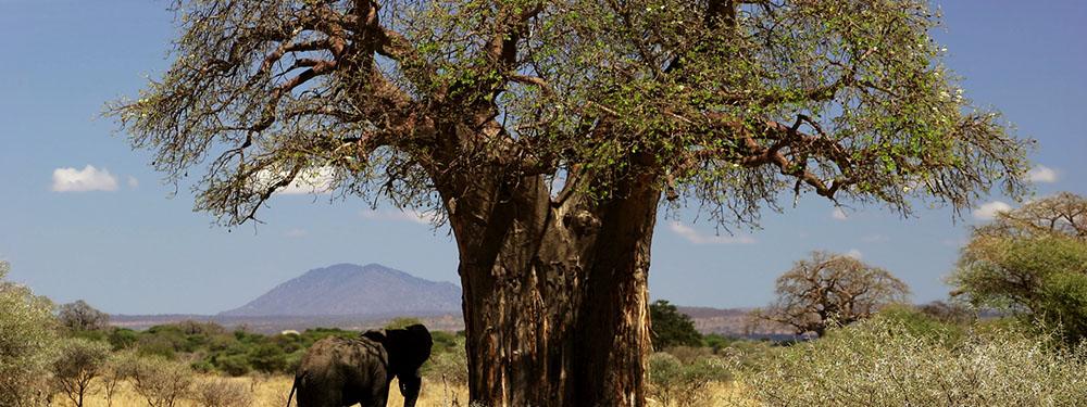 Photo d'un baobab avec un éléphant à ses côtés