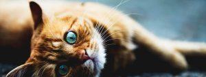 Photo d'un chat roux aux grands yeux bleus allongé sur un sol en parquet