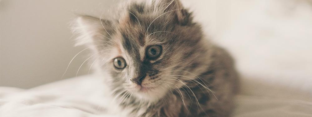 Photo représentant un chaton allongé sur un lit avec dans les yeux l'envie de faire des bêtises
