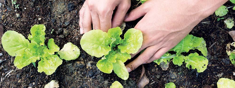 Photo de main vu de près en train de planter des salades