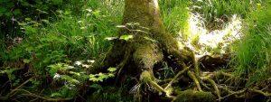 Photo d'une racine d'un arbre gigantesque de la forêt de Borcéliance