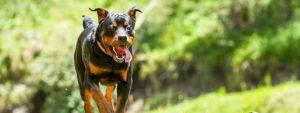 Photo d'un chien dangereux en train de courir vers l'objectif