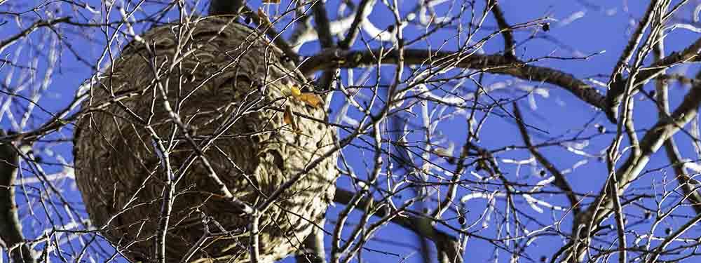 Photo d'un nid de frelons