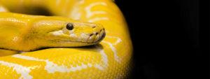 Photo d'un python royal jaune