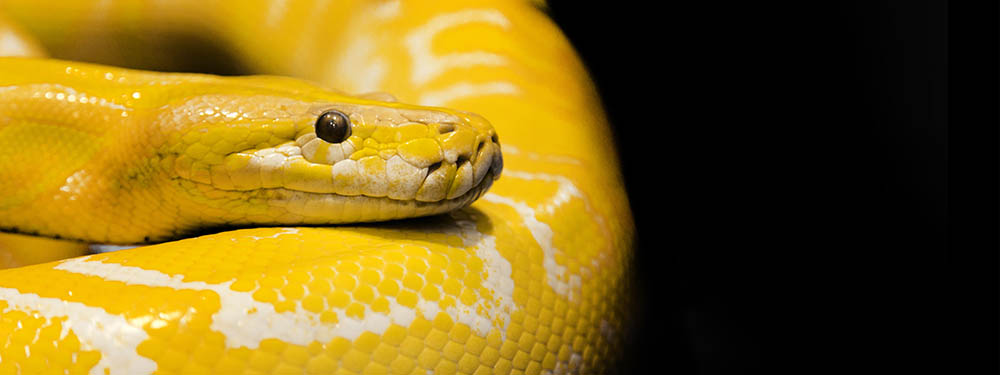 Photo d'un python royal jaune