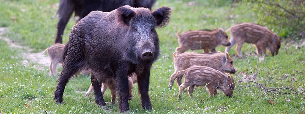 Photo d'une famille de sangliers