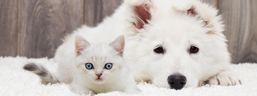 Photo d'un chat et d'un chien blanc tranquillement allongé sur un tapis blanc