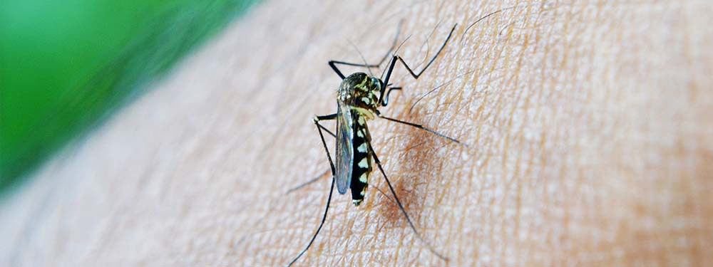 Photo d'un moustique tigre