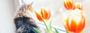 Photo d'un chat regardant par la fenêtre avec des tulipes au premier plan