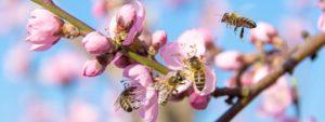 Photo montrant des abeilles sur des fleurs roses