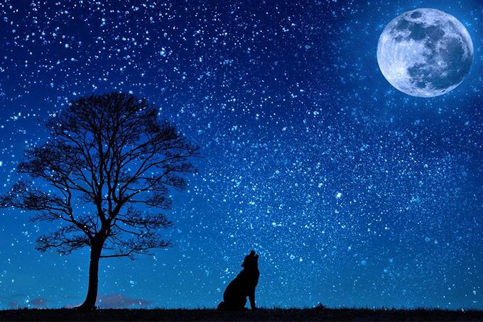 Photo représentant un loup hurlant sous un ciel étoilé
