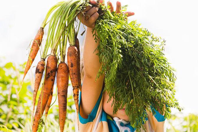 Photo représentant un enfant en pleine nature qui porte à bout de bras une grosse botte de carottes.