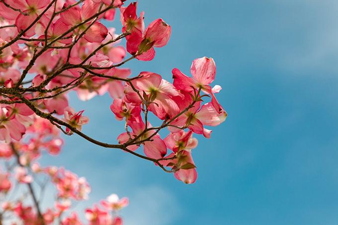 Photo représentant un arbre en fleurs. Les fleurs sont roses et on distingue un ciel bleu.