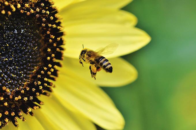 En gros plan, photo représentant une abeille en train de butiner.