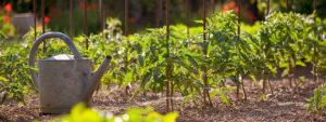 Photo d'un potager avec un plan de tomates et un arrosoir