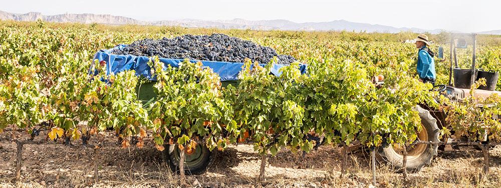 Photo d'une tracteur rempli de raisin pour les vendanges au milieu des vignes