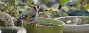 Photo d'un oiseau posé sur le rebord d'un pot rempli d'eau