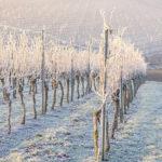 Photo de vignes couvertes de gel