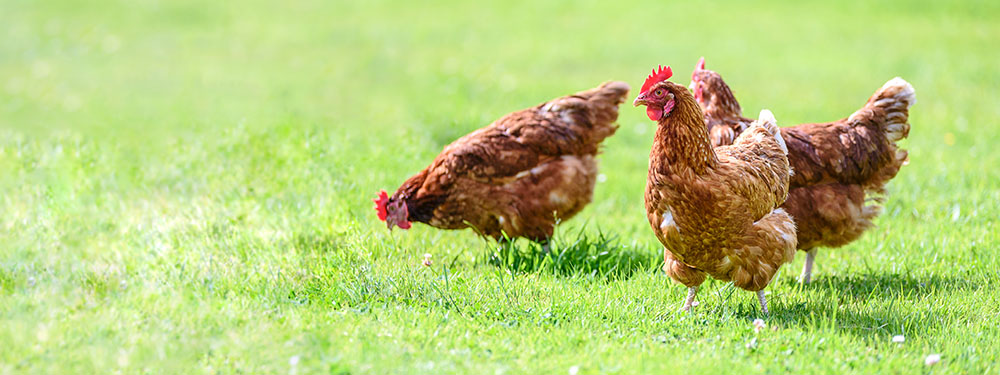 Photo de poules dans un jardin