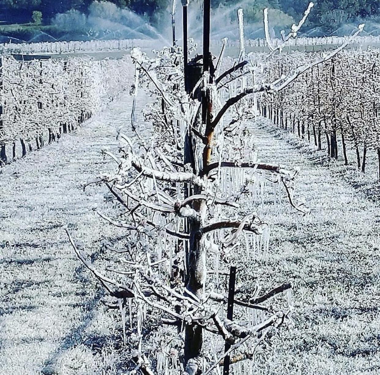 Photo montrant les vergers du chemin Ferdinand Gibert totalement gelés